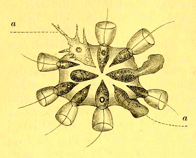 Choanoflagellaten